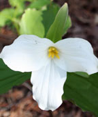 Trillium - Official Flower of Ontario